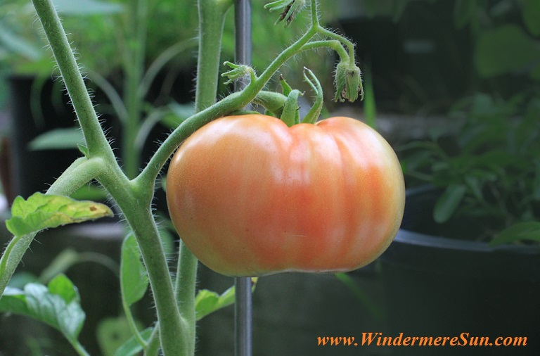 tomato-food-nutrition-plant-161554 final