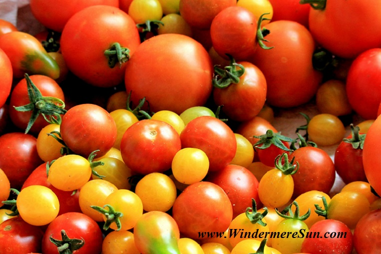 tomatoes-tomato-harvest-healthy-food-162830 final