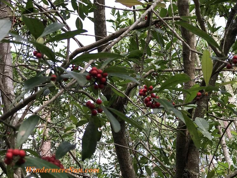 Berries on tree final