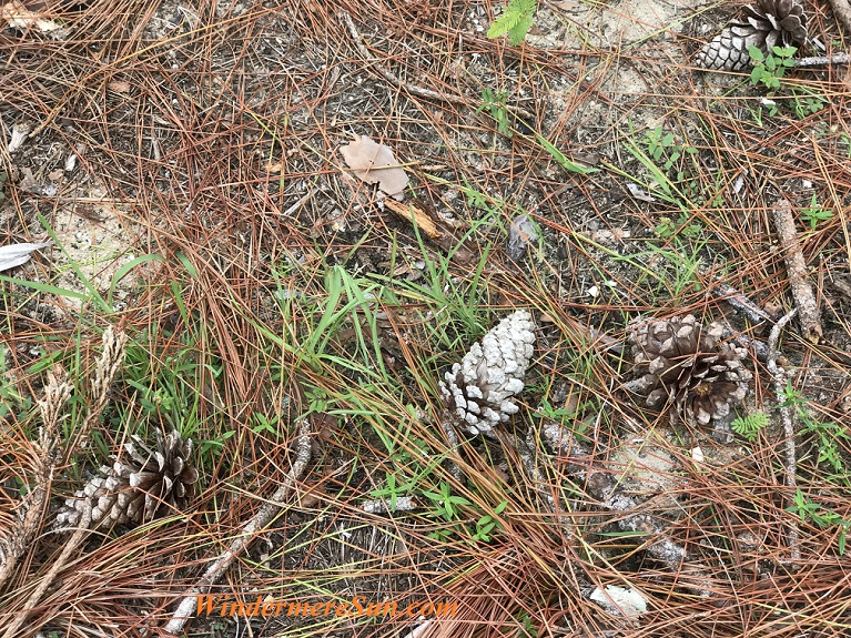 pine cones along path final