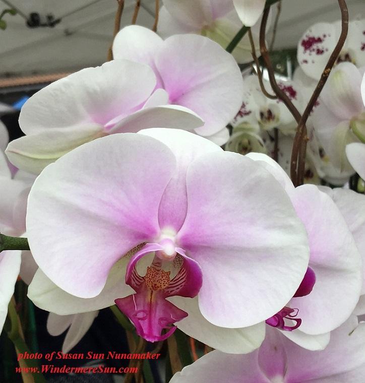 WinterGardenFarmer'sMarket-Orchids8 cropped 4final