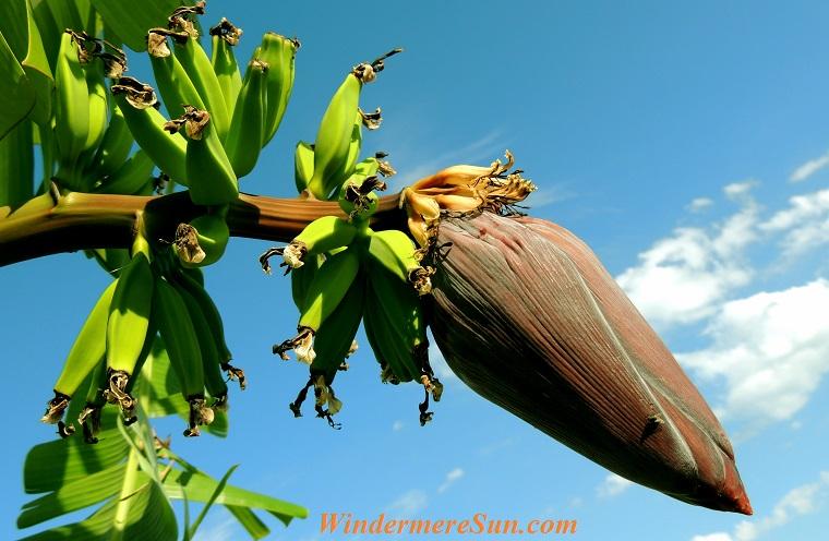 banana-banana-tree-bunch-of-bananas-fruit-60581 final