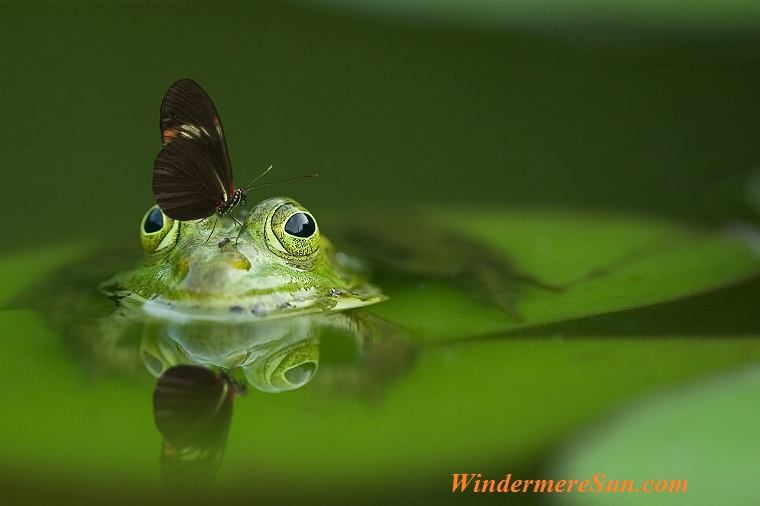 frog-butterfly-pond-mirroring-45863 final