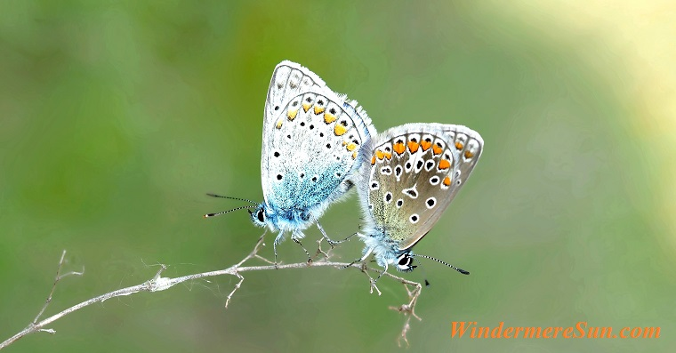 lycaenidae-restharrow-butterflies-polyommatus-icarus-158732 final