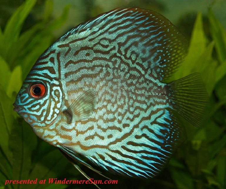perch-cichlid-discus-cichlid-freshwater-fish-78790 final