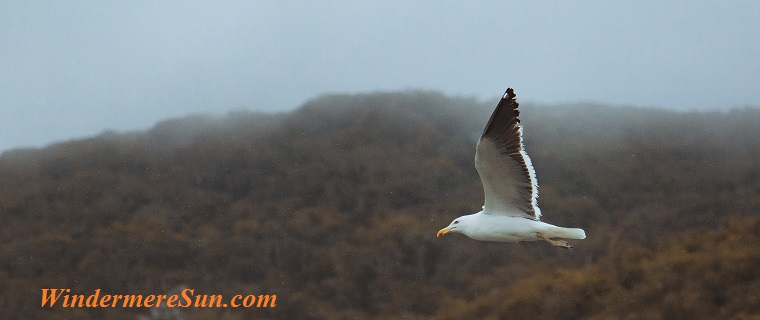 seagull in flight, pexels-photo-799494 final