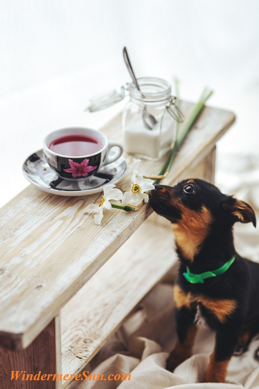 Pet of 03-03-2018, dog interested in tea, animal-dog-pet-cute final