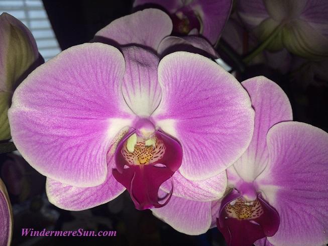 Orchids33 final