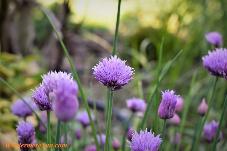 purple plant, pexels-photo-433005 final