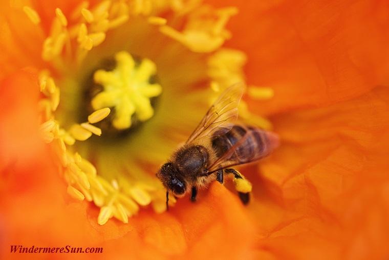 bee at work, pexels-photo-548403 final