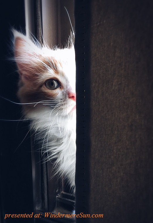 pet of 04-07-2018, cat playing peak-a-poo,pexels-photo-320014 final