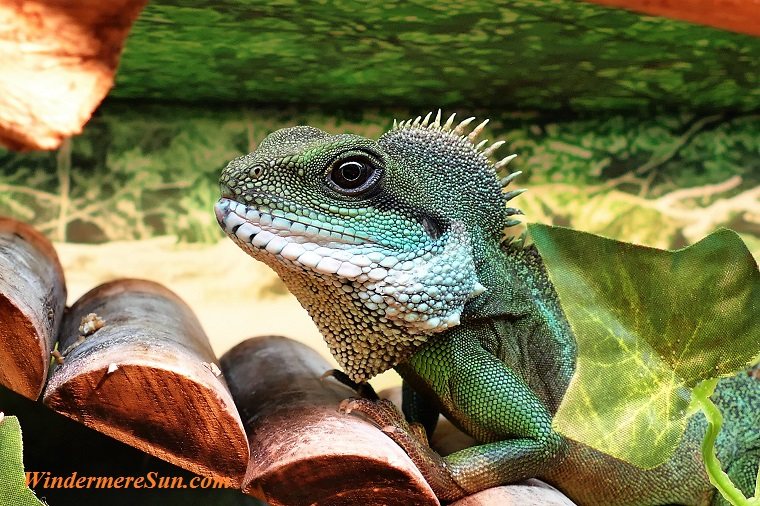 pet of 04-21-2018, iguana, pexels-photo-321900 final