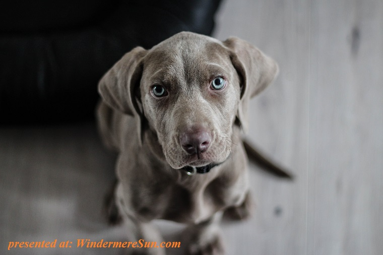 weimaraner-puppy-dog-snout-9708 final2