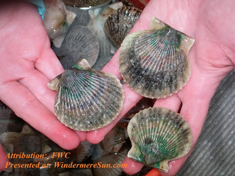 Bay Scallop in two hands final