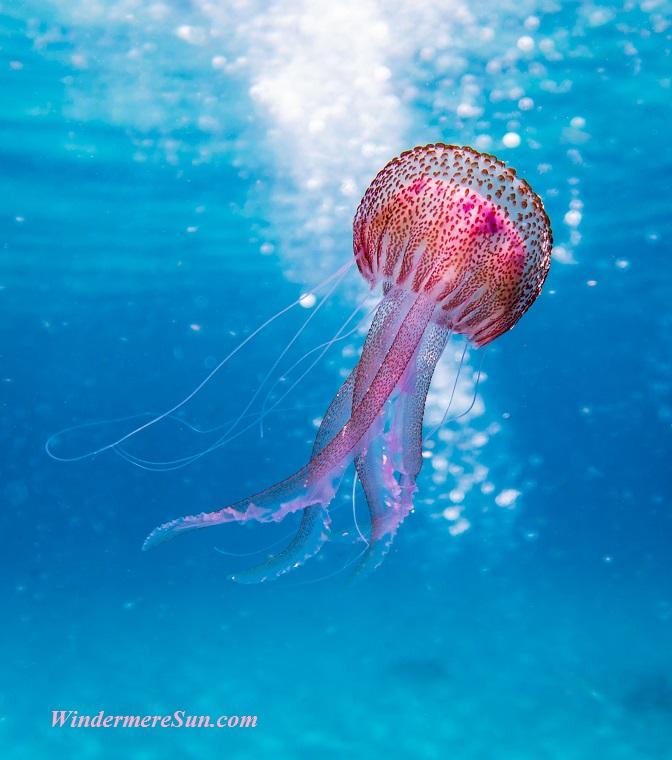 jellyfish-2, animal-aquatic-biology-1076758 final