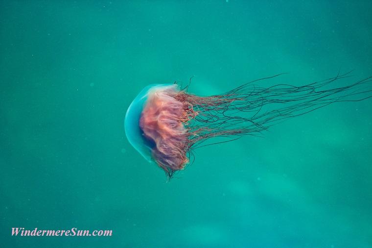 jellyfish-5, animal-aquatic-close-up-837500 final