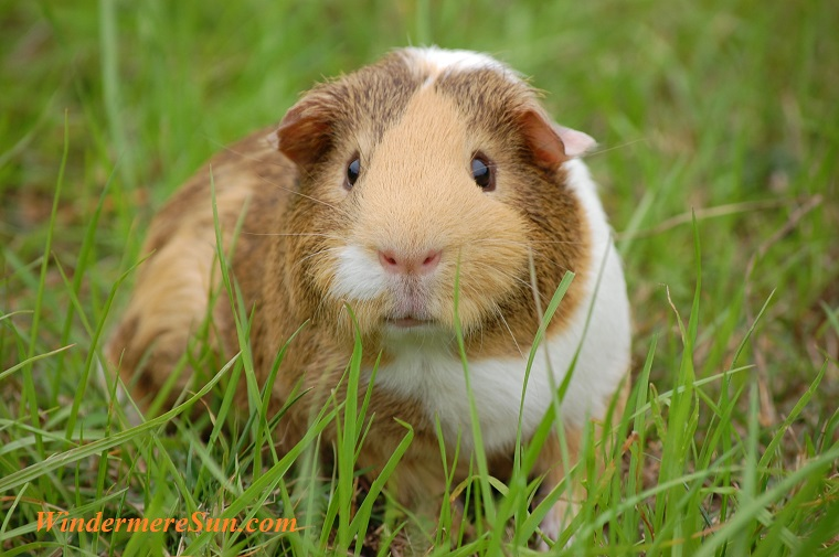 pet of 6-16-2018, guinea-pig-cavy-pet-guinea-60693 final