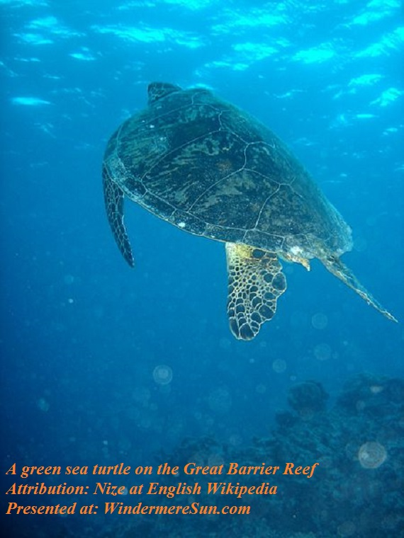 Great Sea Turtle at Great Barrier Reef, attribution-Nize at English Wikipedia final