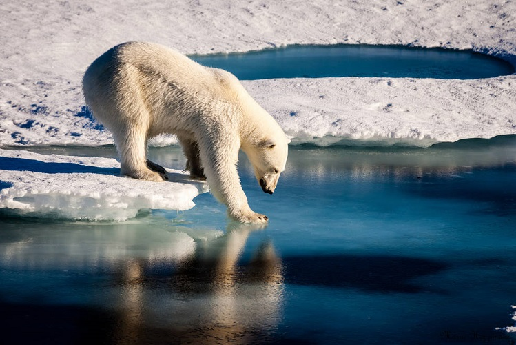 Polar Bear Crosses Arctic Sea, Facing Shorter Sea Ice Season final