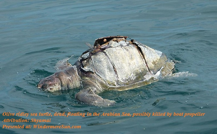 Olive Ridley sea turtle, dead, in the Arabian sea, possibley killed by propeller of boat, attribution-Shyamal, Turtlekill1 final