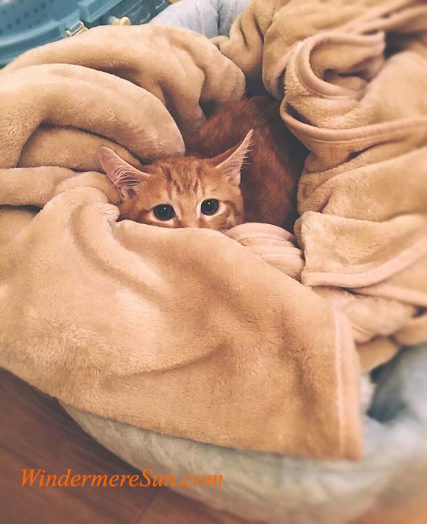 pet of 8-11-2018, cozy cat, animal-cat-cute-74177 final