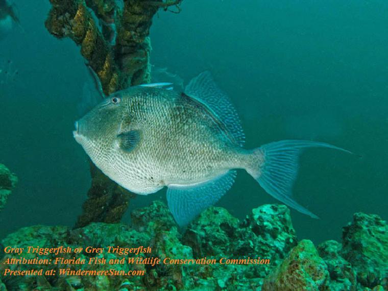 Gray triggerfish or grey triggerfish final