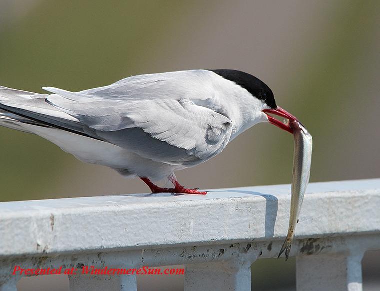 animal-animal-photography-arctic-tern-54619 final