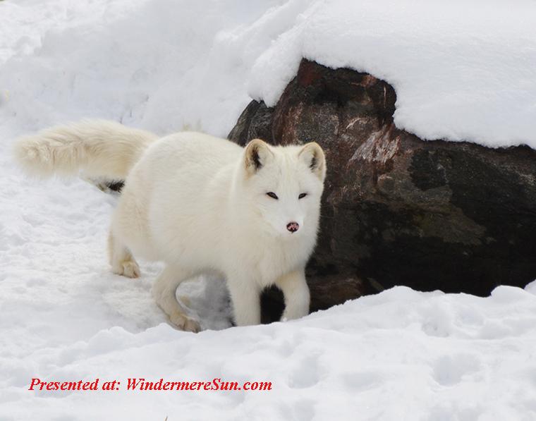 animal-arctic-blur-208976 final