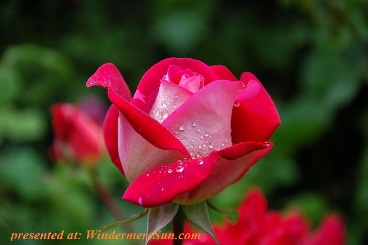 red rose, bloom-blossom-dew-56866 final