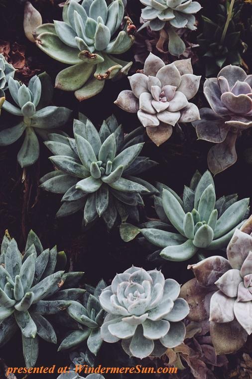 succulents, botanical-cactuses-close-up-305827 final