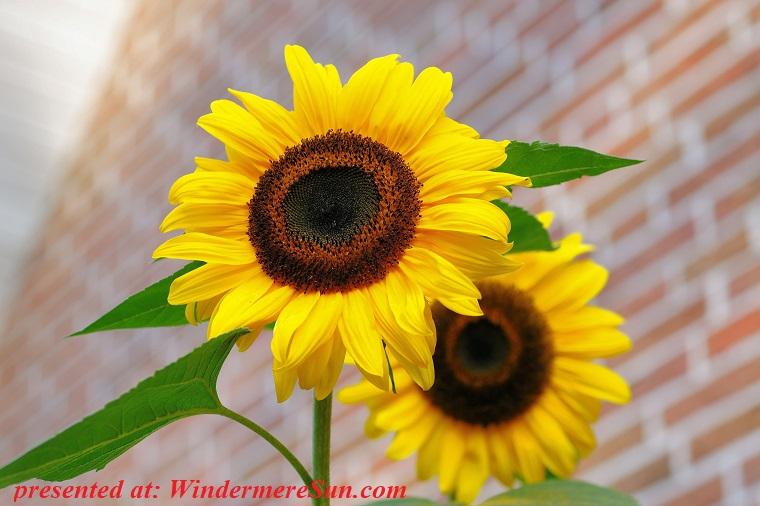 sunflowers, bloom-blossom-flora-46216 final