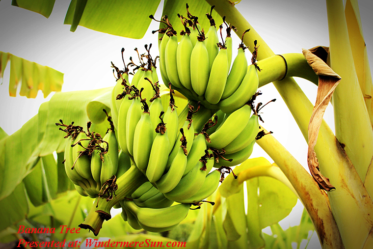 Banana tree, banana-branch-bunch-214158 final