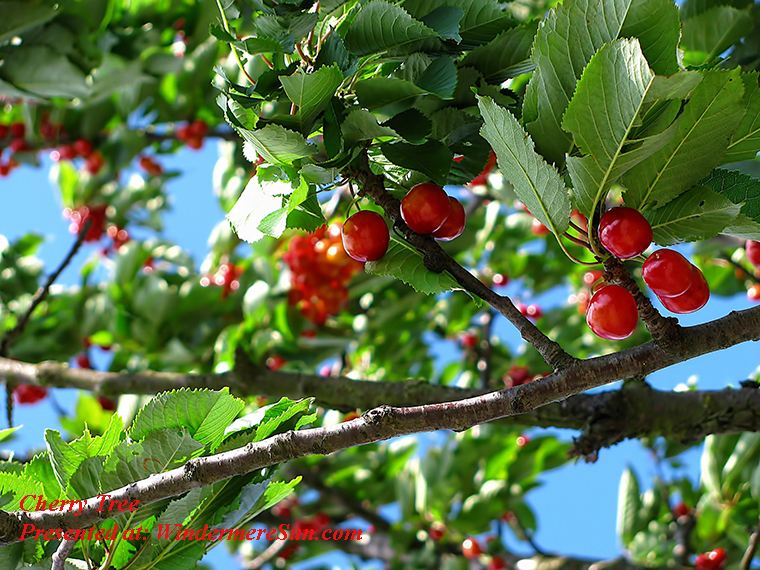 Cherry tree, branches-cherries-close-up-63312 final