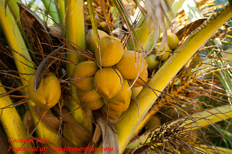 Coconut tree, branch-close-up-coconut-319894 final