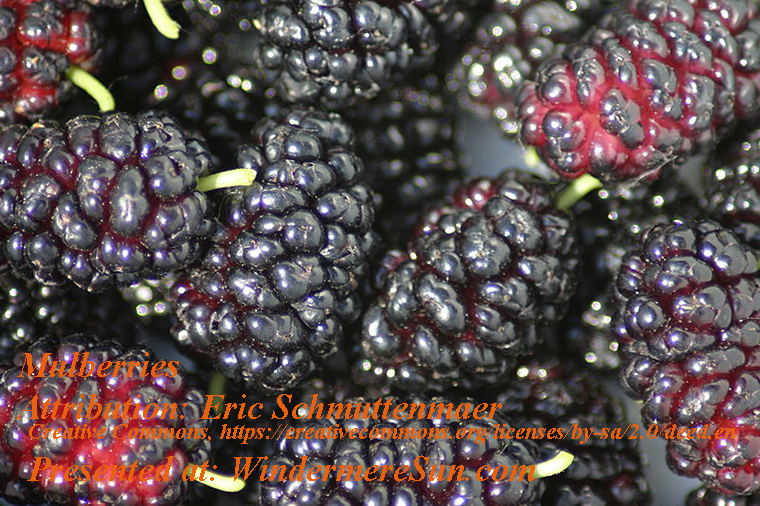 Mulberry, attribution-Schmuttenmaer final