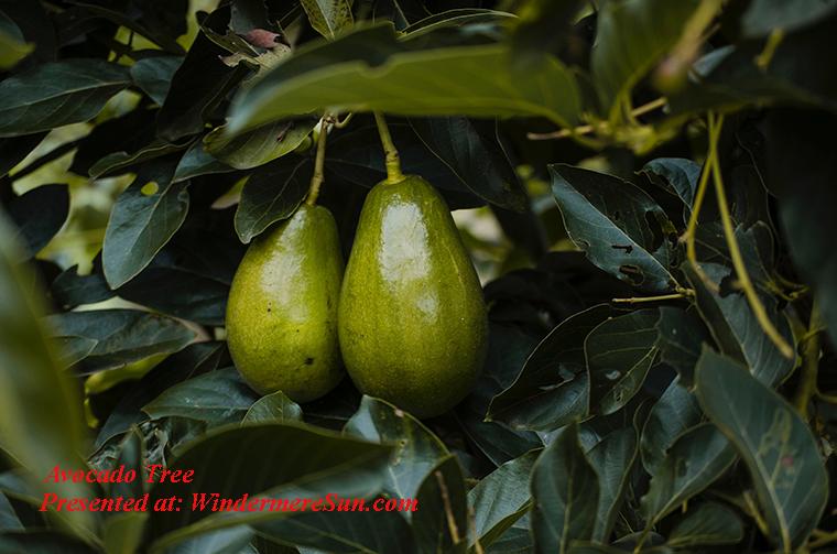 avocado tree, agriculture-aguacates-avocado-1261994 final-2