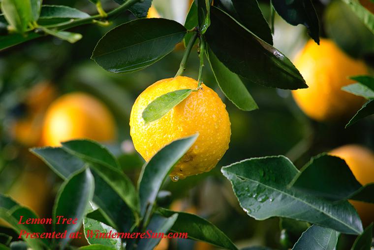 lemon tree, agriculture-citrus-close-up-129574 final