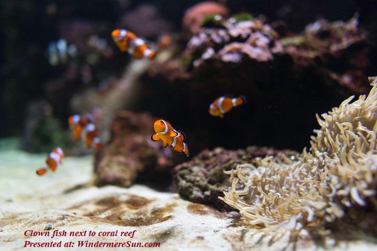 clown fish next to coral reef, anemone-animal-aquarium-2244813 final