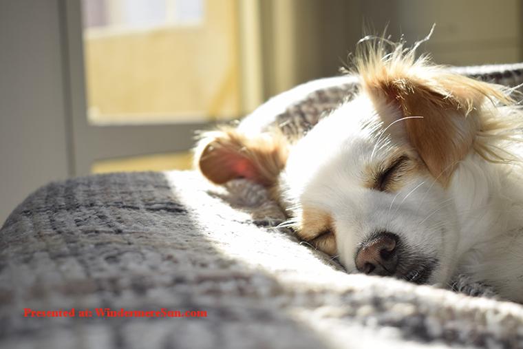 Pet of 6-15-2019, dog in peaceful slumber, adorable-animal-breed-731022 final