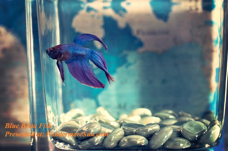 Pet of 11-23-2019, selective-focis-photo-of-blue-betta-fish-942295 final