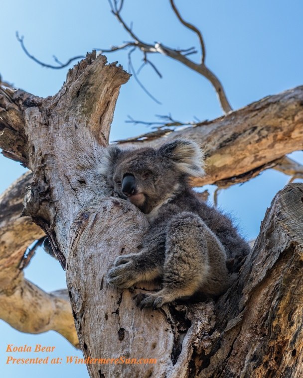koala-on-tree-2122408 final