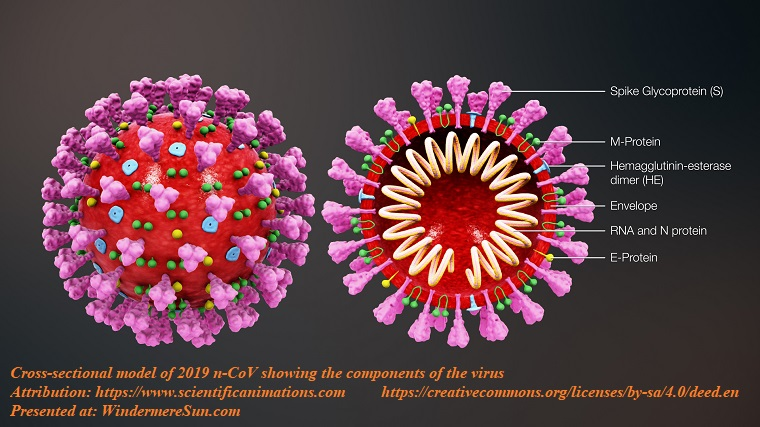 Cross-sectional model of 2019 n-CoV showing the components of the virus, attribution-scientificanimations.com,CC4.0 final