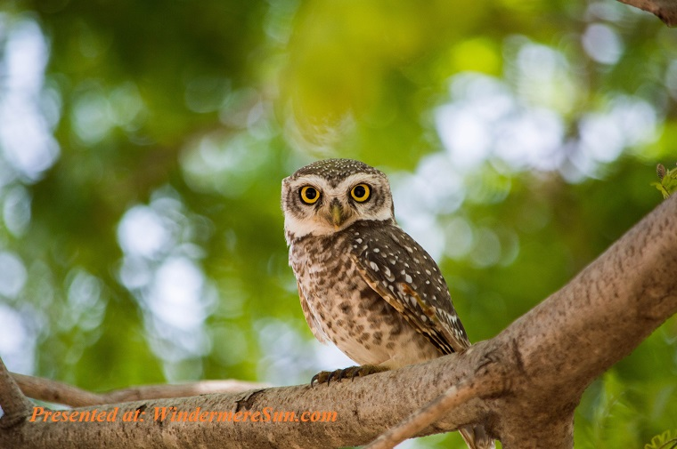Owl, brown-owl-on-tree-branch-2683946 (1) final