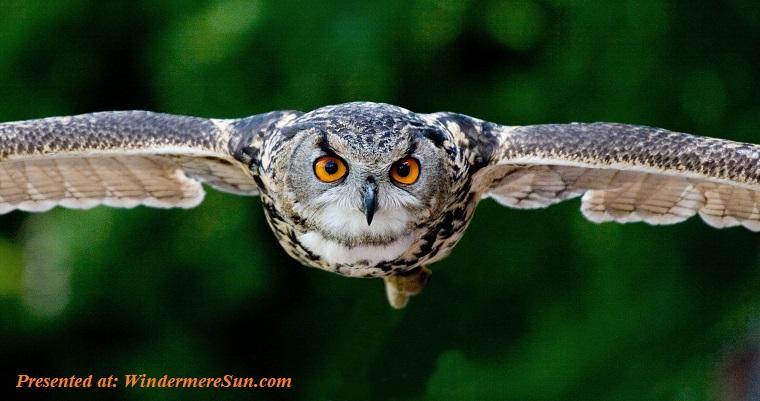 Owl flying, animal-animal-photography-avian-beak-357159 (1) final