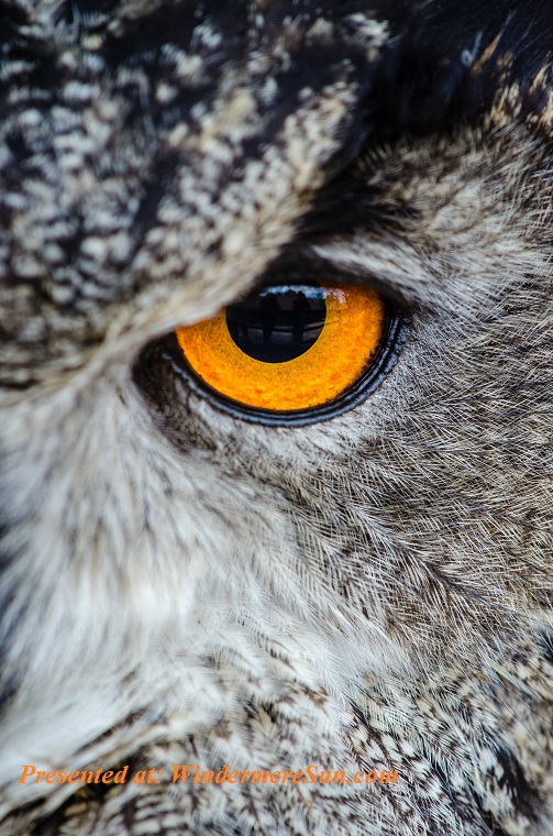 Owl, gray-owl-showing-orange-and-black-left-eye-148275 (1) final