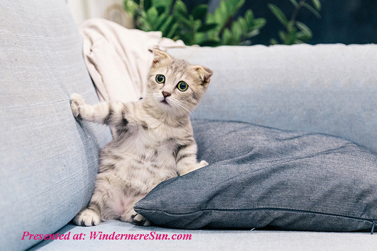 Pet of 1-11-2020, photo-of-gray-and-white-tabby-kitten-sitting-on-sofa-2194261 final