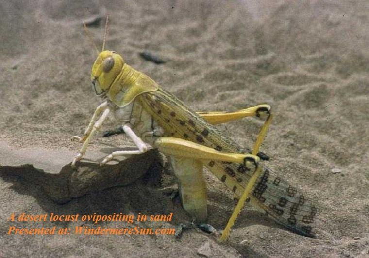 Locust, A desert locust ovipositing in sand, PD final