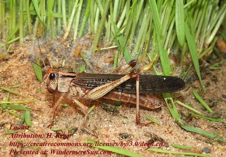 Locust, Locusta-migratoria-wanderheuschrecke, Attribution-H. Krisp, CC.3.0 final