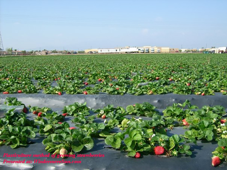Plasticulture method of growing strawberries PD final