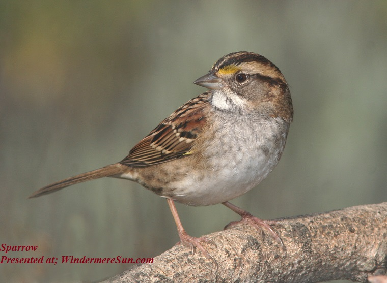 sparrow, brown-small-beak-bird-155002 (1) final